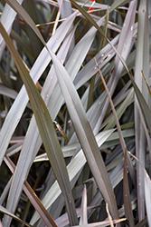 Platt's Black New Zealand Flax (Phormium 'Platt's Black') at Roger's Gardens