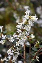 Tea Olive (Osmanthus delavayi) at Roger's Gardens