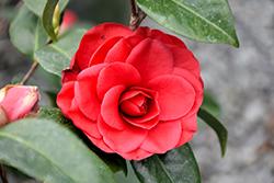 Tom Knudsen Camellia (Camellia japonica 'Tom Knudsen') at Roger's Gardens