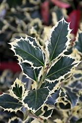 Variegated English Holly (Ilex aquifolium 'Argentea Marginata') at Roger's Gardens