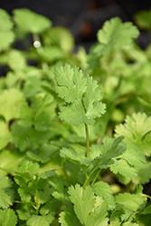 Cilantro (Coriandrum sativum) at Roger's Gardens