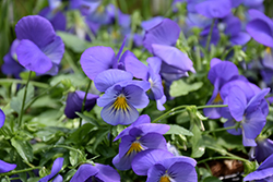 Cool Wave Blue Skies Pansy (Viola x wittrockiana 'PAS1077345') at Roger's Gardens