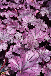 Forever Purple Coral Bells (Heuchera 'Forever Purple') at Roger's Gardens