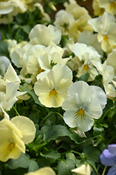 Cool Wave Yellow Pansy (Viola x wittrockiana 'PAS904972') at Roger's Gardens