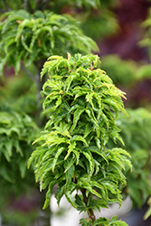 Lions Head Japanese Maple (Acer palmatum 'Shishigashira') at Roger's Gardens