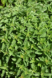 Greek Oregano (Origanum vulgare ssp. hirtum) at Roger's Gardens