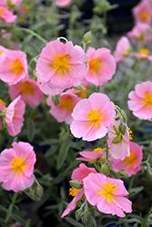 Wisley Pink Rock Rose (Helianthemum nummularium 'Wisley Pink') at Roger's Gardens