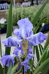Victoria Falls Iris (Iris 'Victoria Falls') at Roger's Gardens
