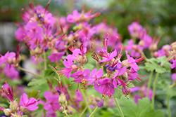 Bevan's Variety Cranesbill (Geranium macrorrhyzum 'Bevan's Variety') at Roger's Gardens
