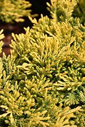 Gold Strike Juniper (Juniperus horizontalis 'Gold Strike') at Roger's Gardens