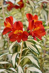 Rock 'n' Roll Alstroemeria (Alstroemeria 'AlsDun01') at Roger's Gardens