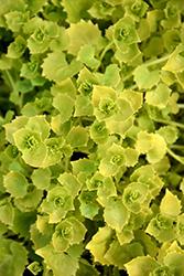 Dickson's Gold Italian Bellflower (Campanula garganica 'Dickson's Gold') at Roger's Gardens