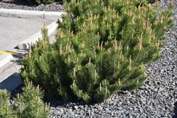 Dwarf Mugo Pine (Pinus mugo var. pumilio) at Roger's Gardens