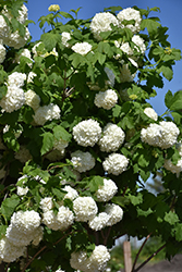 Eastern Snowball Viburnum (Viburnum opulus 'Sterile') at Roger's Gardens