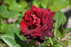 Black Baccara Rose (Rosa 'Black Baccara') at Roger's Gardens
