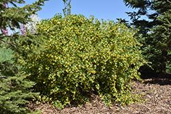 Golden Flowering Currant (Ribes aureum) at Roger's Gardens