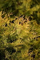 Golden Arborvitae (Thuja occidentalis 'Aurea') at Roger's Gardens