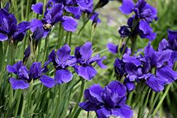 Caesar's Brother Siberian Iris (Iris sibirica 'Caesar's Brother') at Roger's Gardens