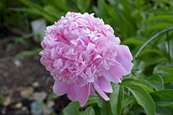Sarah Bernhardt Peony (Paeonia 'Sarah Bernhardt') at Roger's Gardens