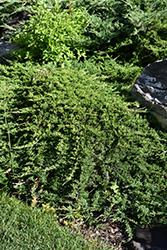 Tam Juniper (Juniperus sabina 'Tamariscifolia') at Roger's Gardens