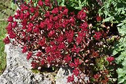 Voodoo Stonecrop (Sedum spurium 'Voodoo') at Roger's Gardens