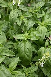 Super Sweet Genovese Basil (Ocimum basilicum 'Super Sweet Genovese') at Roger's Gardens