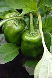 Escamillo Sweet Pepper (Capsicum annuum 'Escamillo') at Roger's Gardens