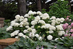 Annabelle Hydrangea (Hydrangea arborescens 'Annabelle') at Roger's Gardens