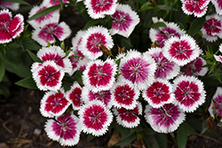 Floral Lace Picotee Pinks (Dianthus 'Floral Lace Picotee') at Roger's Gardens