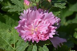 Spring Celebrities Pink Hollyhock (Alcea rosea 'Spring Celebrities Pink') at Roger's Gardens
