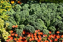 Prizm Kale (Brassica oleracea var. sabellica 'Prizm') at Roger's Gardens