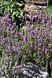 Oregano Thyme (Thymus vulgaris 'Oregano') at Roger's Gardens