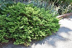 Buffalo Juniper (Juniperus sabina 'Buffalo') at Roger's Gardens