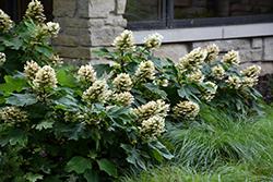 Munchkin Hydrangea (Hydrangea quercifolia 'Munchkin') at Roger's Gardens