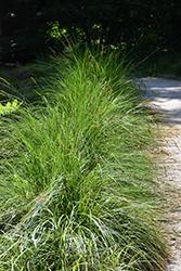 Autumn Moor Grass (Sesleria autumnalis) at Roger's Gardens