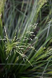Golden Dew Tufted Hair Grass (Deschampsia cespitosa 'Goldtau') at Roger's Gardens