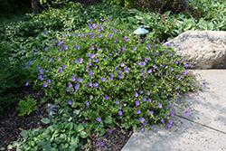 Jolly Bee Cranesbill (Geranium 'Jolly Bee') at Roger's Gardens