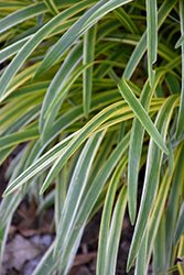 Silvery Sunproof Variegated Lily Turf (Liriope muscari 'Silvery Sunproof') at Roger's Gardens