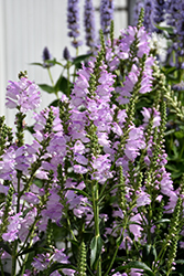 Pink Manners Obedient Plant (Physostegia virginiana 'Pink Manners') at Roger's Gardens