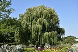 Babylon Weeping Willow (Salix babylonica) at Roger's Gardens