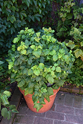 Raspberry Shortcake Raspberry (Rubus 'NR7') at Roger's Gardens