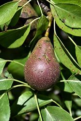 Seckel Pear (Pyrus communis 'Seckel') at Roger's Gardens