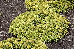 Cutting Edge Stonecrop (Sedum ellacombianum 'Cutting Edge') at Roger's Gardens