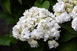 Wedding Gown Hydrangea (Hydrangea macrophylla 'Wedding Gown') at Roger's Gardens