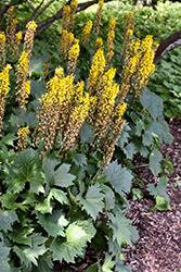 The Rocket Rayflower (Ligularia 'The Rocket') at Roger's Gardens