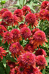 Double Scoop Orangeberry Coneflower (Echinacea 'Balscoberr') at Roger's Gardens