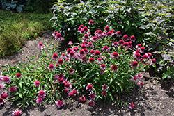 Double Scoop Bubble Gum Coneflower (Echinacea 'Balscblum') at Roger's Gardens