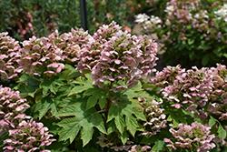 Oakleaf Hydrangea (Hydrangea quercifolia) at Roger's Gardens