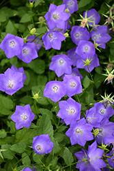 Blue Clips Bellflower (Campanula carpatica 'Blue Clips') at Roger's Gardens