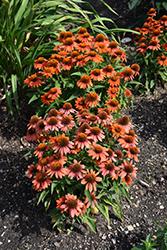 Sombrero Adobe Orange Coneflower (Echinacea 'Balsomador') at Roger's Gardens